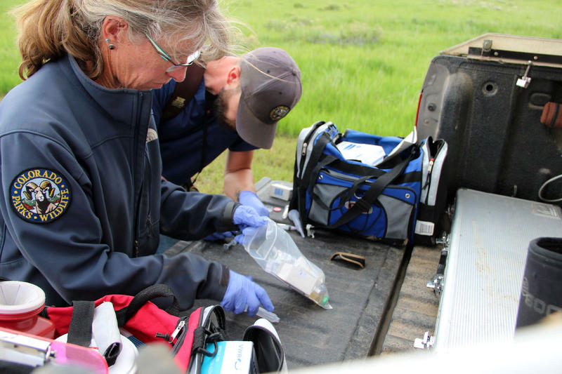Colorado Parks and Wildlife vetrinarian Lisa Wolfe helps prepare the tranquilizer that officials originally though they needs to help with the baby bison's birth.