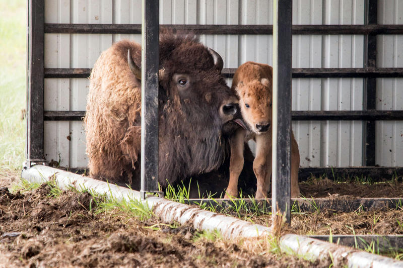 The mama bison with her baby shortly after birth. This birth took around two hours, extremely long for a bison birth.