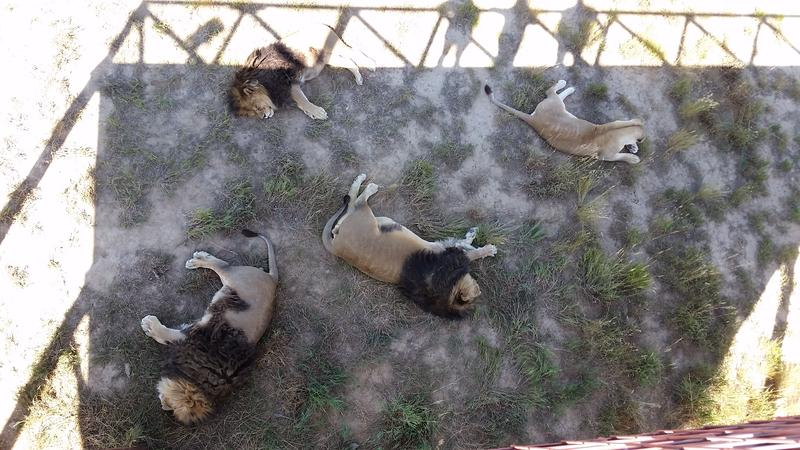A family of rescued lions sleeps in the shade on a hot day beneath the guest walkway.