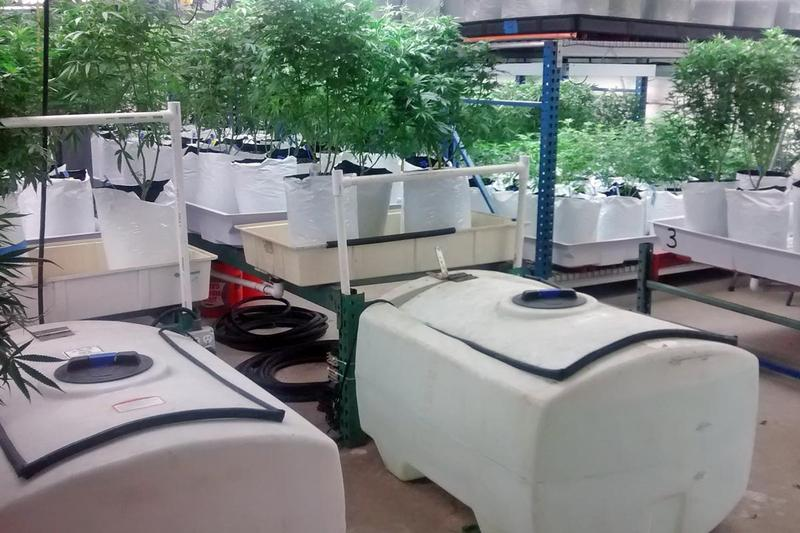 Colorado Harvest Company's grow facility in Denver houses approximately 3,000 plants in its 10,000 square foot facility.