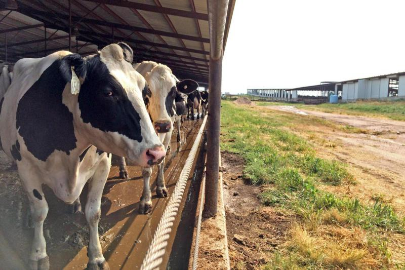 Holsteins, the black and white spotted dairy cattle, are known for their long, lanky limbs and calm temperaments.