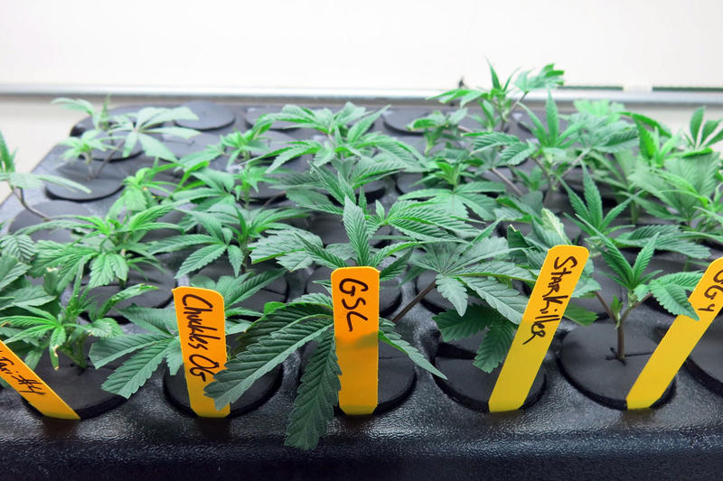 Well-trained plant breeders can now entertain a new calling: marijuana. Breeding programs, like this one at The Farm in Boulder, Colorado, are becoming a significant commercial enterprise.