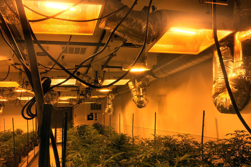 Bright orange high-pressure sodium lights have traditionally been used to grow cannabis.