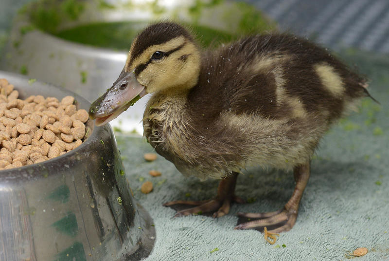 A patient at Greenwood Wildlife Rehabilitation Center recovers with a snack.