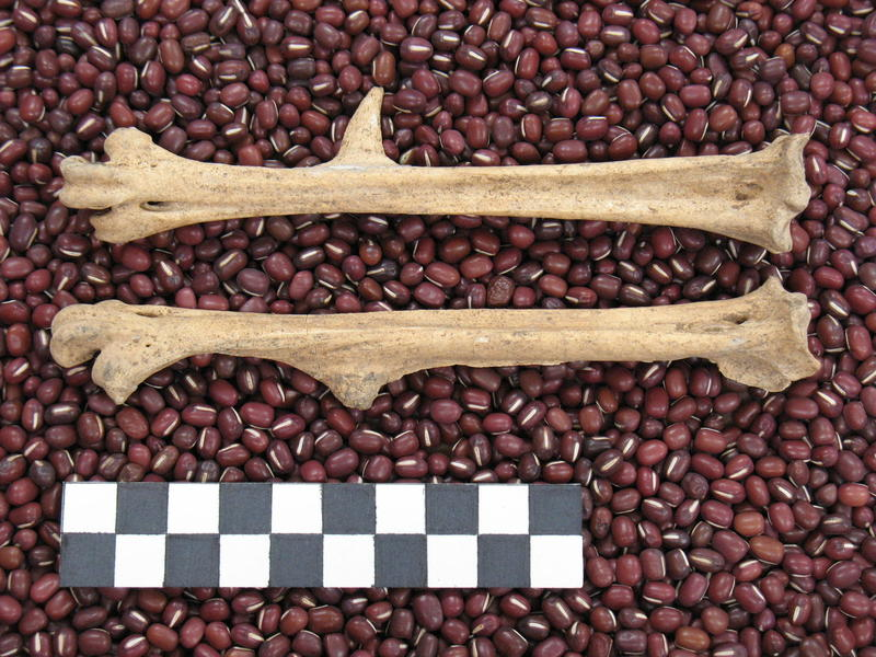 DNA from ancient turkey bones has been used to trace the Pueblo migration from Mesa Verde to New Mexico in the 13th century.