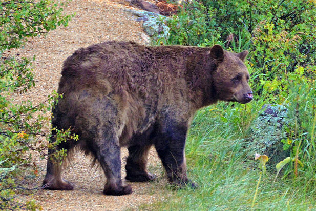 A black bear wanders through the woods near Estes Park. Several bears in the mountain town have had to be euthanized this year because of aggressive behavior.