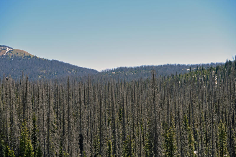 Bark beetle devestation in Colorado's forests