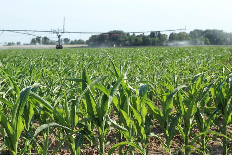 Corn grows in rural Weld County, Colorado in early June 2018.