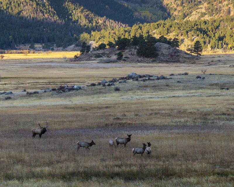 Elk photographed in Moraine Park in October 2014.