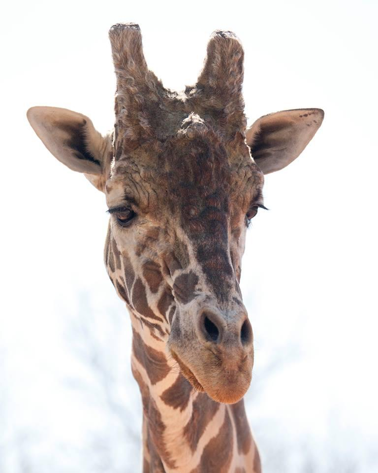 The zoo says Dikembe was the oldest male giraffe in North America.