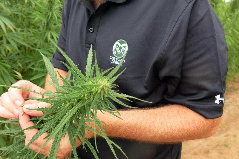 Brian Campbell, a graduate student at Colorado State University, shows off hemp stalks.