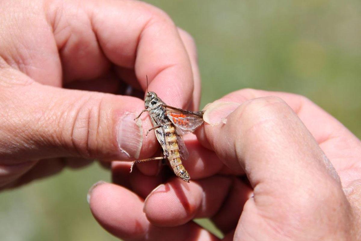 U.s. Grasshoppers on a grasshopper found at