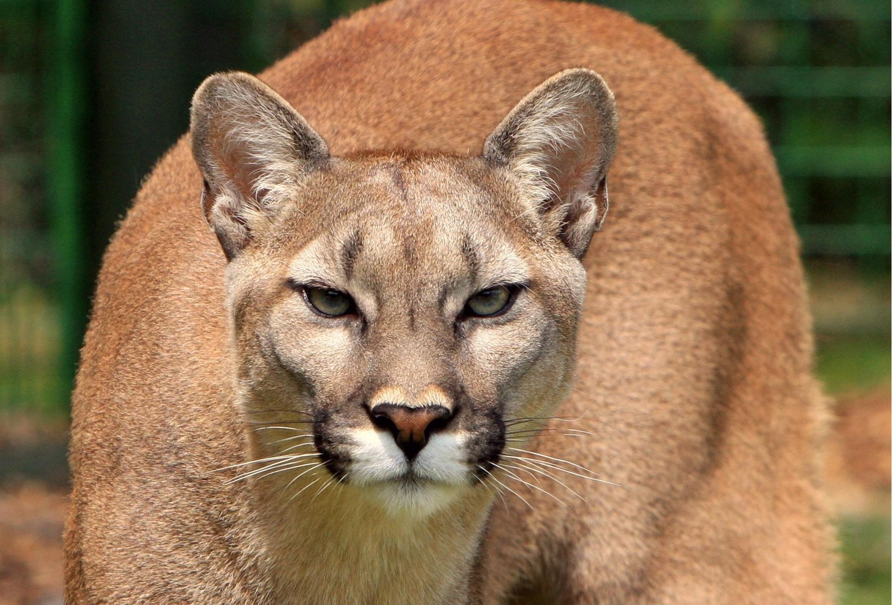 officers search for mountain lions sighted in boulder