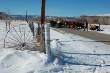 Alfonso Abeyta's grandson, Amos, herds cows on the family ranch.
