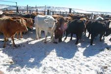 Cows corralled for the winter