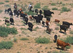 Cattle roundup, not unlike rounding up votes in the Roundhouse in Santa Fe, NM.