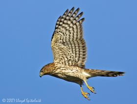 A Cooper's Hawk in flight