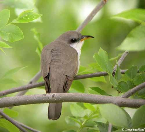 The yellow-billed cuckoo could soon be listed under a legal settlement reached last year.  That threat is sparking signs of compromise down south.