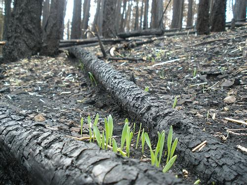 Sprouting seeds between two downed trees.