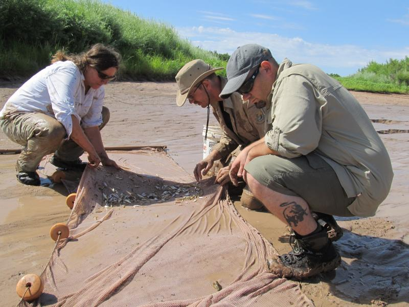 Biologist with the US Fish and Wildlife Service and the Army Corps of Engineers seine a pool, then sort through the fish for endangered silvery minnows.