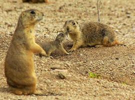Gunnison prairie dogs
