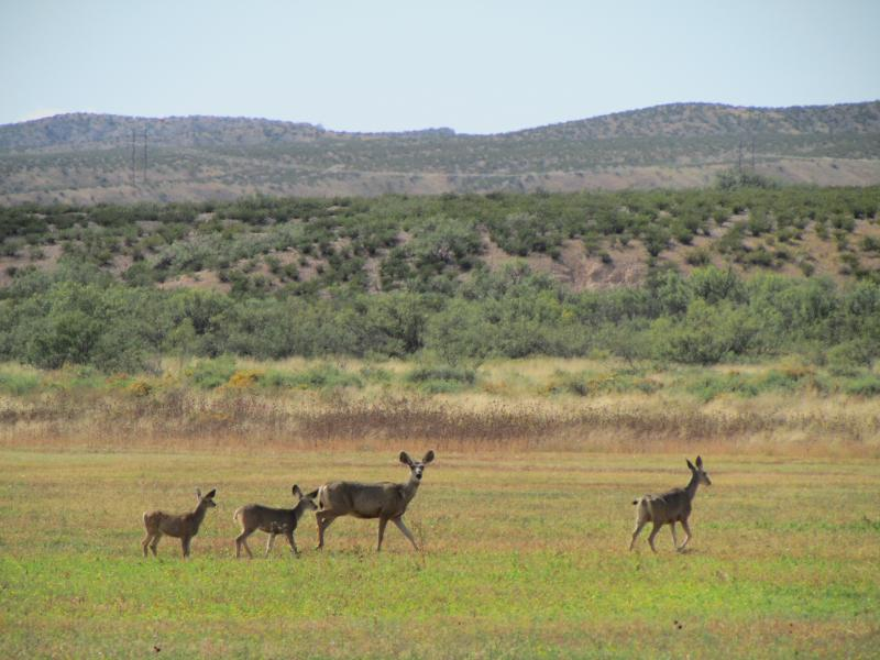 Mule deer along Highway 1, on the Bosque del Apache National Wildife Refuge
