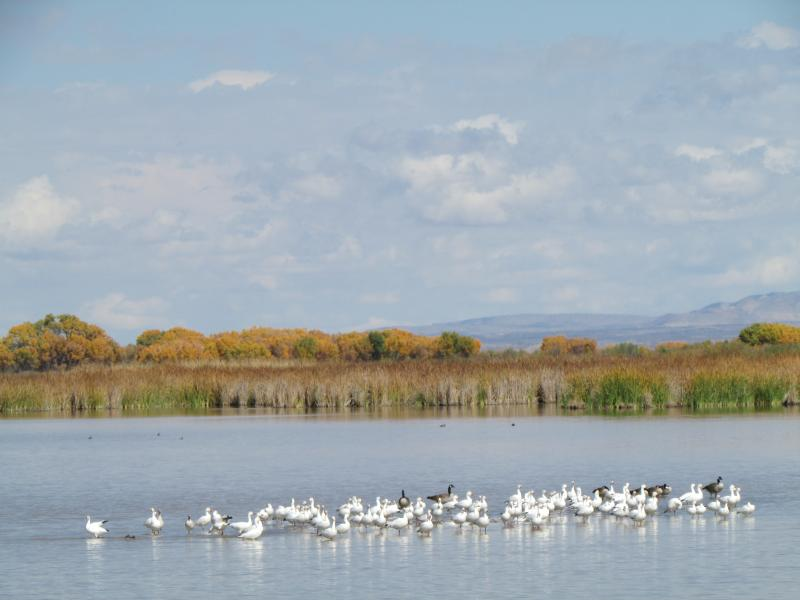 Snow geese and Canada geese mingle at the refuge
