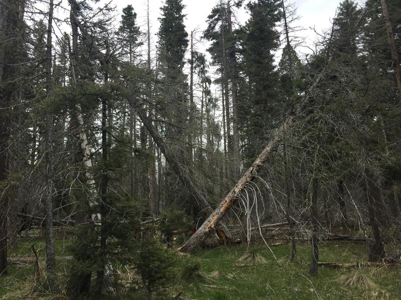 Crews are working in the Santa Fe National Forest to clear out overgrowth.