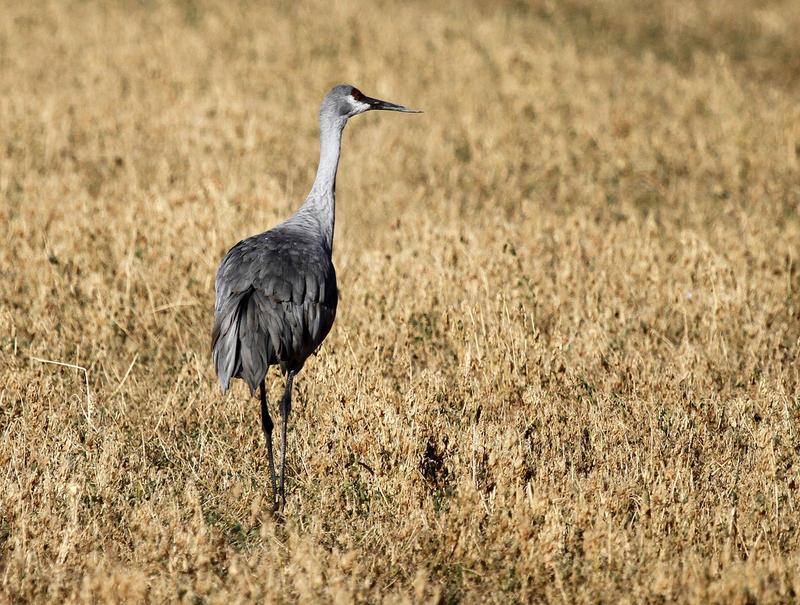 Sandhill crane at the Valle de Oro National Wildlife Refuge