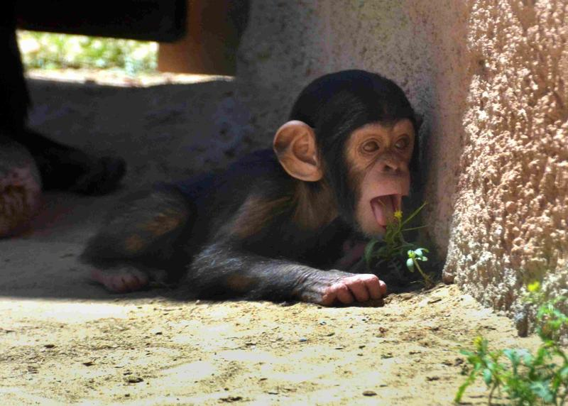 This new baby is the child of one of the breeding chimps brought to the zoo from the Alamogordo Primate Facility.