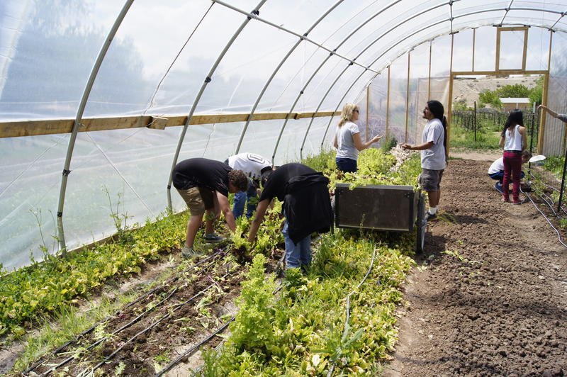 High school students harvest vegetables at Grow The Future community farm in Albuquerque