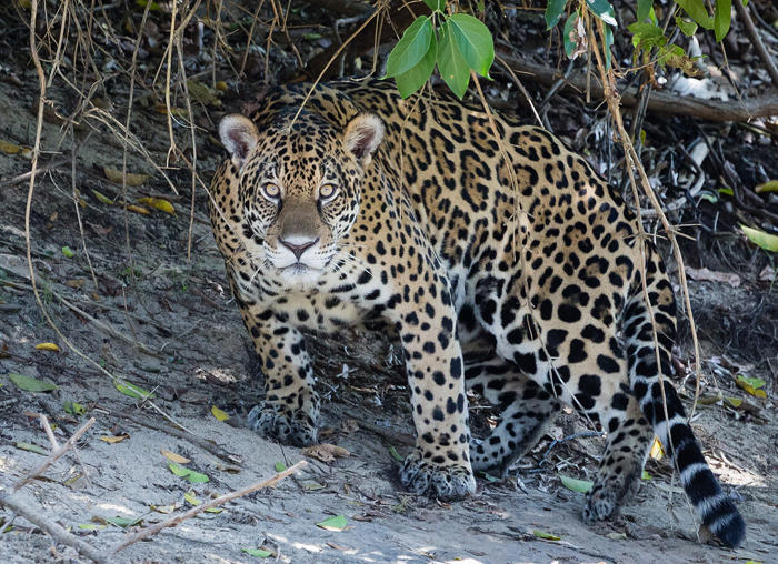 New Mexico's critically endangered jaguar