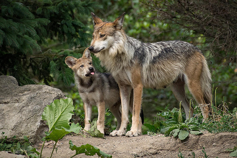 Mexican Grey Wolf Pup and Mother