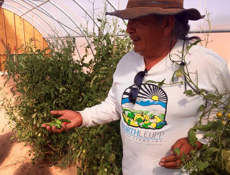 North Leupp Family Farm Manager Stacey Jensen pulls peppers from plants in the greenhouse.