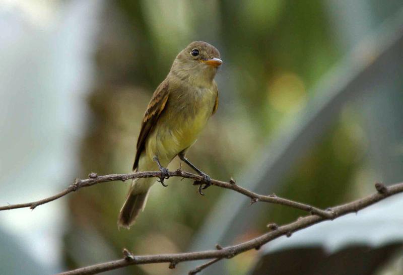 Southwestern Songbird