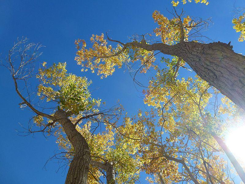 Cottonwoods of the Rio Grande