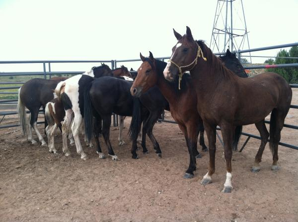 "Horses rounded up in Arizona, set to be sold to ""kill-buyers"" from slaughterhouses in Mexico."