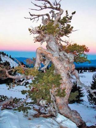 A whitebark pine, courtesy of some photographer