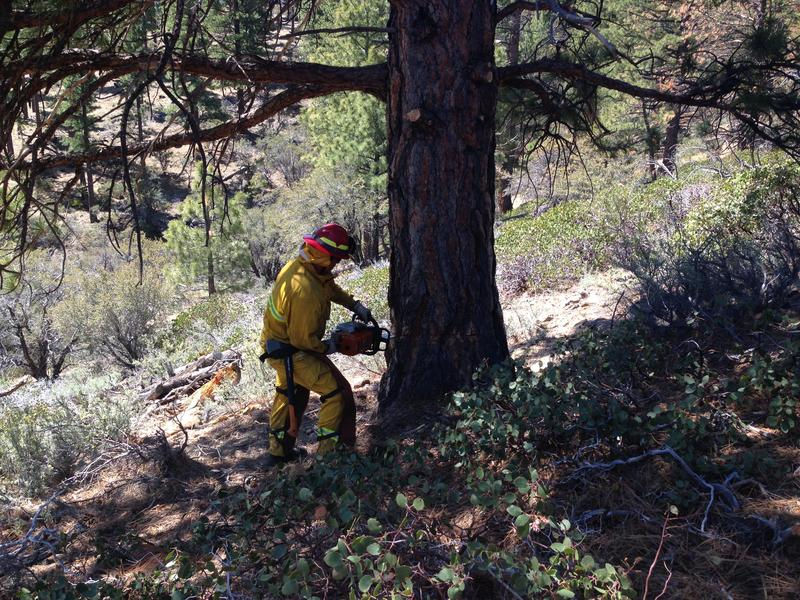 Shawn Heywood, a captain for Truckee Meadows Fire Protection District, uses a chainsaw to cut down a dying pine tree to earn his re-certification in tree felling.