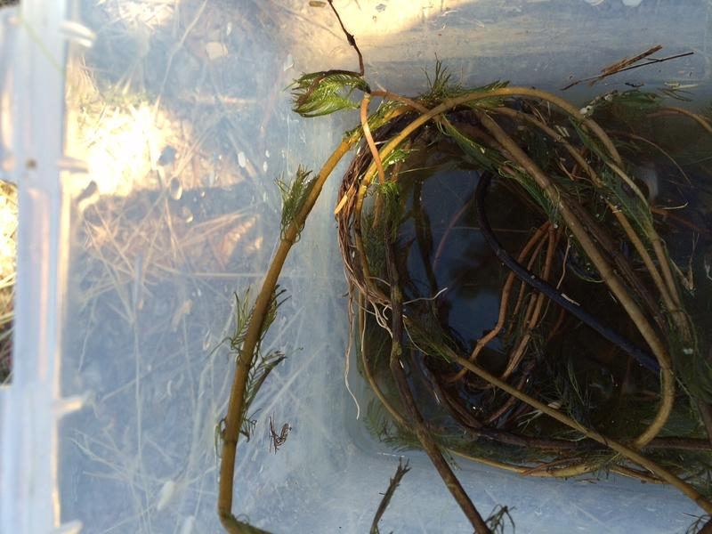 Eurasian Milfoil, the peskiest aquatic weed in the Tahoe Keys, likely came from someone's aquarium.