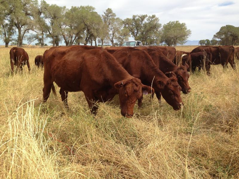 The Albaugh Ranch, in Fallon, NV, raises grass-fed, Native Purebred Shorthorn cattle.
