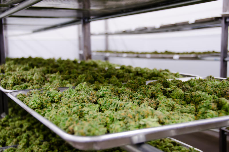 A tray of green, moss-like balls. Identified as marijuana after being picked from the plant.