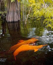Pink dolphins swim among flooded trees.