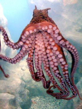A giant Pacific octopus similar to the one that was killed recently at Cove 2 in Alki.