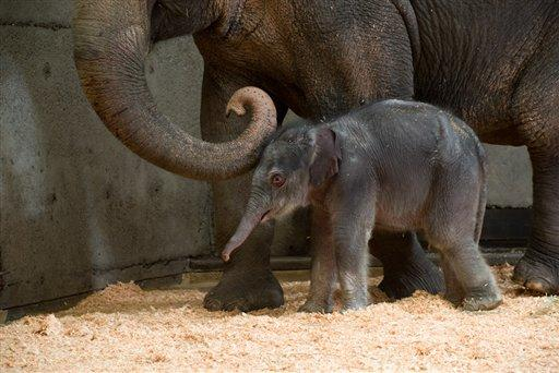 A newborn female Asian elephant calf in the elephant maternity ward with her mother Rose-Tu at the Oregon Zoo, November 30, 2012.
