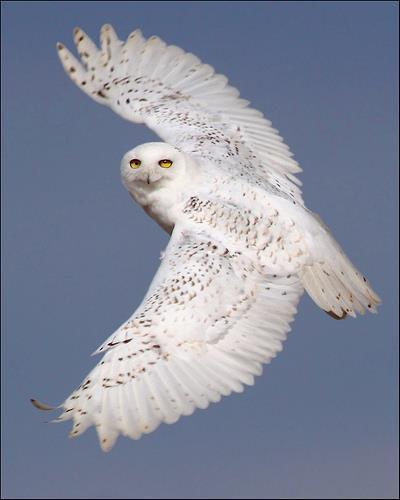 Snowy owls are back! Several of the arctic birds have been spotted around the region recently, including in Seattle and Everett. It's typical for snowy owls to arrive in the US every three or four winters, but last year the number of the birds erupted.