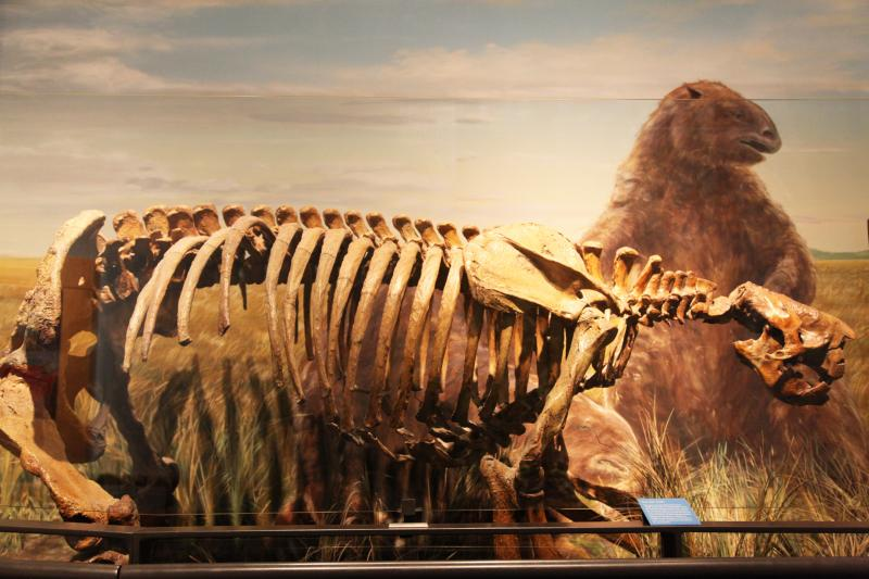 Thousands of years ago this skeleton was a Giant Ground Sloth. These gigantic, bear-like animals were once common all over North America. This guy was around roughly at the end of the Ice-Age.