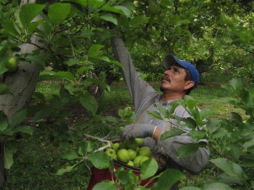 In this Oct. 21, 2011, file photo Margarito Calderon picks apples at an orchard in Tieton, Wash.