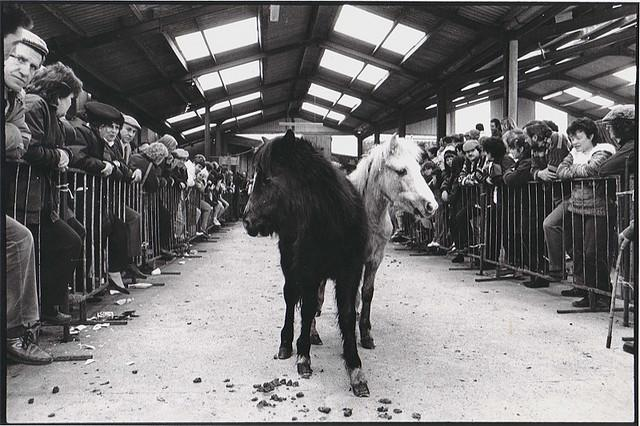 Welsh mountain ponies auctioned for meat at the Llanybydder horse mart, Wales, 2006.