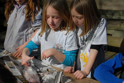 Students dissect fish as a homeschool project.